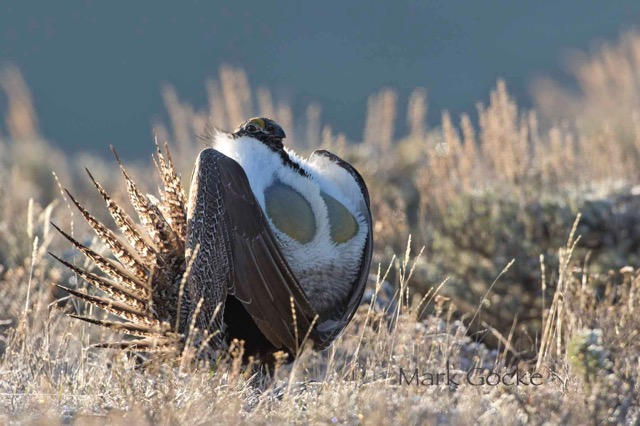 Standing Up For Sage Grouse