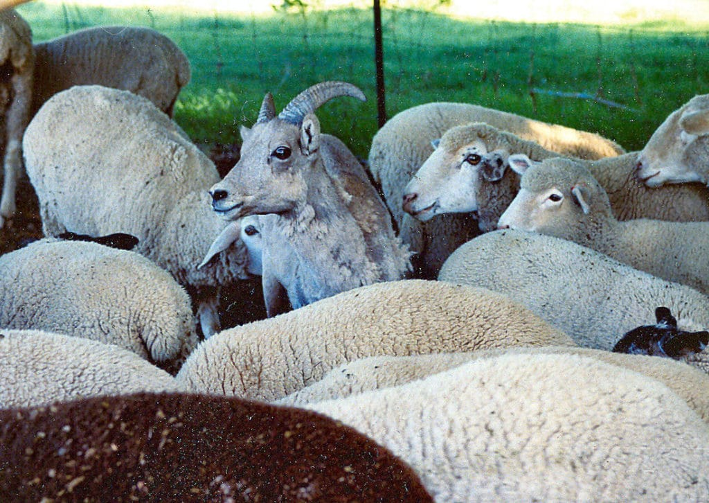Domestic sheep and Big Horn Sheep