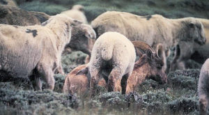 Big Horn Sheep mingling with domestic sheep.