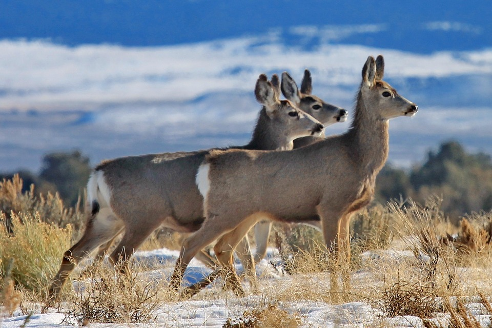 A Legacy of Mule Deer Conservation in Wyoming