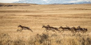 Running antelope. Photo by Colten Wead