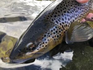 Trout from Northwest Wyoming